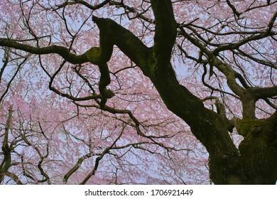 Cherry blossoms (Someiyoshino) : full blooming - Shutterstock ID 1706921449