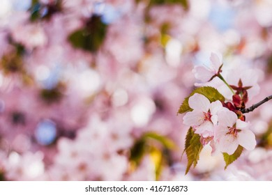 Cherry blossoms. Spring background