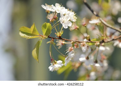 cherry blossoms in spring, flower heyday