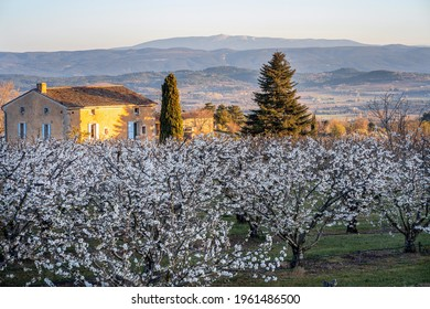 Cherry blossoms in spring. Mont Ventoux in the background. Provence, France. Sunrise.