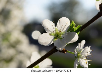 Cherry blossoms in spring on a tree in Maisach