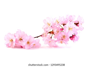 Cherry Blossoms, spring pink flowers. Branch of sakura with flowers and leaves on white background.