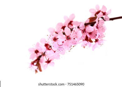 Cherry Blossoms. Spring pink flowers isolated on white.