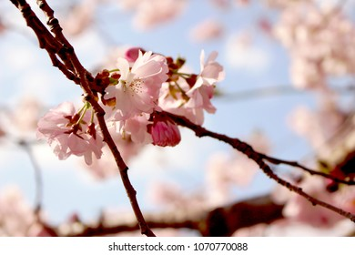 cherry blossoms in spring in prague