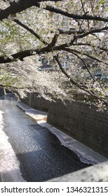 cherry blossoms spring Toyko