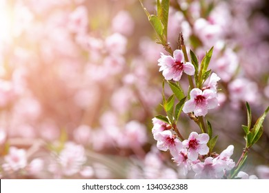cherry blossoms in springtime