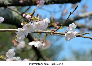 Cherry blossoms started to bloom in Saga prefecture, JAPAN.