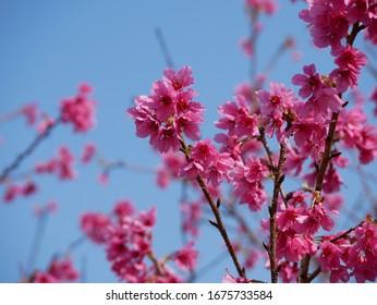 Cherry blossoms in the sun.