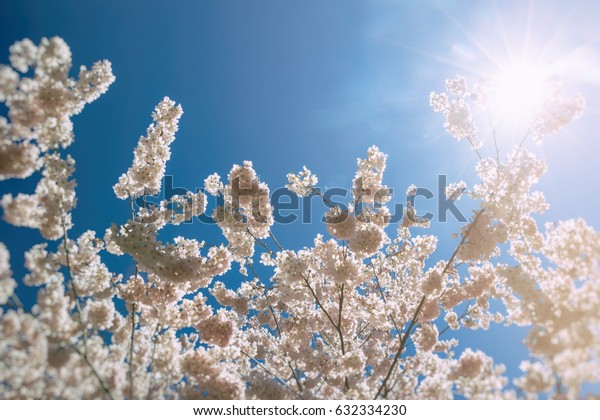 Cherry Blossoms Sun Flare. Cherry blossom flowers in full bloom during spring, with sun flare.