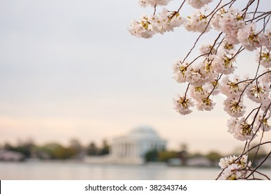 Cherry blossoms sunrise in Washington DC around the Tidal Basin