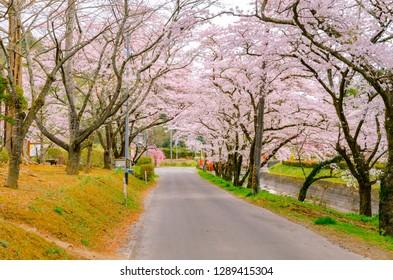 Cherry blossoms at Takakura plantation park in Miyagi prefecture