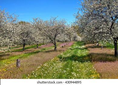 Cherry Blossoms, Traverse City Michigan