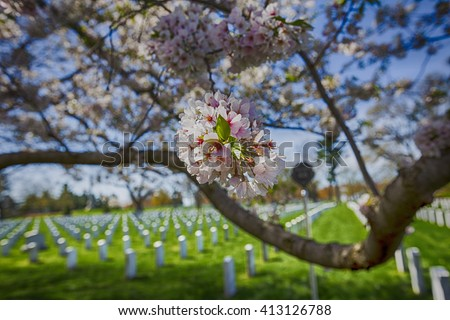 Cherry blossoms trees arlington cemetery pink stock photo edit now cherry blossoms trees in arlington cemetery pink flowers tree grave of unknown soldiers mightylinksfo