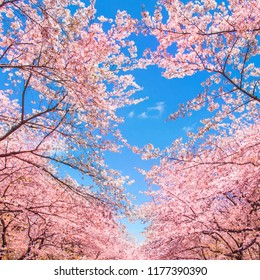 Cherry blossoms in the Ueno Park in Tokyo, Japan
