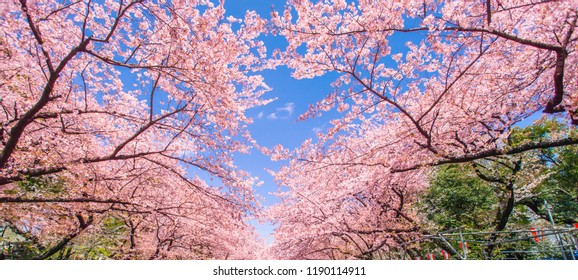 Cherry blossoms in the Ueno Park  in Tokyo, Japan.