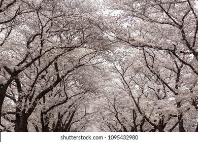 Cherry blossoms under huge Sakura trees.