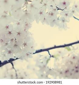 Cherry Blossoms, Vintage