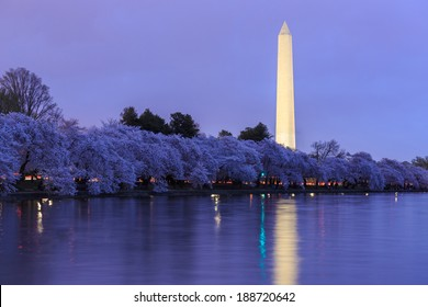 Cherry Blossoms with Washington DC Washington Monument in twilight.