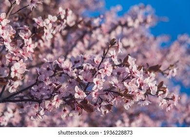 Cherry Blossoms with white Petals on Spring on a sunny day