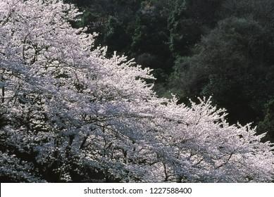 Cherry blossoms (Yoshino cherry)