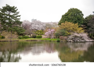 Cherry blossoms(sakura) at Shinjuku Gyoen National Gardens,Tokyo in Japan.