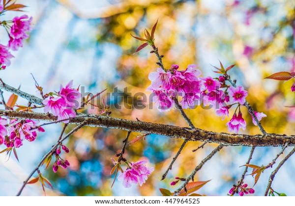 Cherry Blossum Park at Chiangmai Province, Thailand