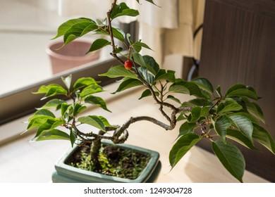 Cherry bonsai tree in a pot