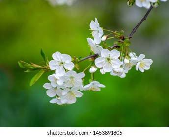 Cherry branch with beautiful background