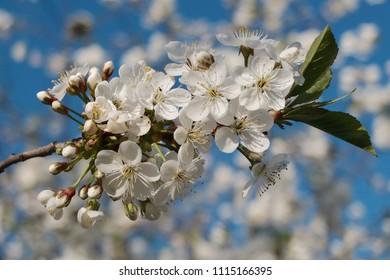 Cherry branch in lush bloom