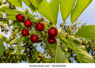 Cherry branch with ripe fruits and foliage