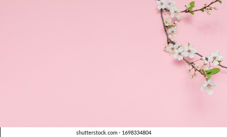 Cherry branch with white blooming flowers. Tender photo with a branch of blooming cherry with white flowers and green leaves on a pink background. Place for text or logo. Flat lay. Spring time.