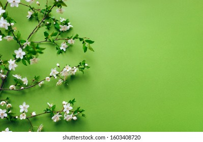 Cherry branches with blossoming petals are beautifully laid out on a green, light green background. Composition and concept. Spring mood, flowering plants, copy space.
