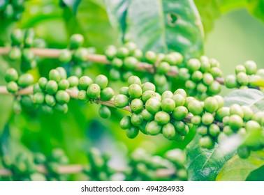 Cherry Coffee seed