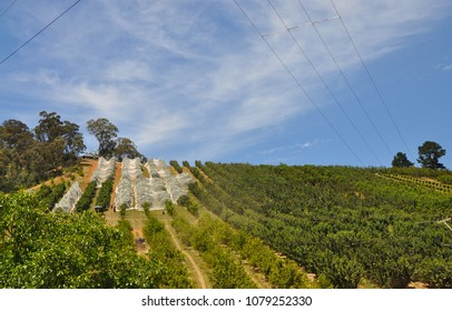 Cherry farm in Adelaide Hills, Adelaide, South Australia. Rows of cherry trees on the cherry farm going up the hill
