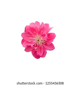 Cherry flower blosoom isolated on white background. Perfect for lunar new year design. Vietnamese Tet. Chinese new year.