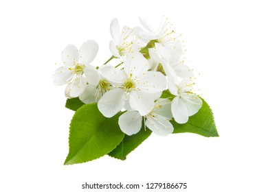 cherry flower isolated on white background