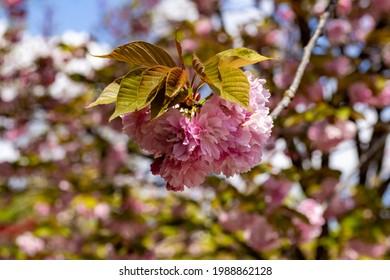 A Cherry flower in the Japanese garden inside the Botanical Garden of Rome, Italy