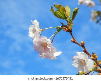 Cherry flowers against against blue sky.