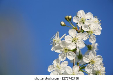 cherry flowers branch