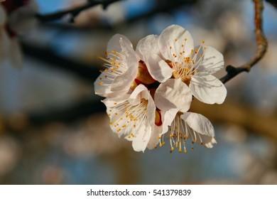 Cherry flowers close up.
