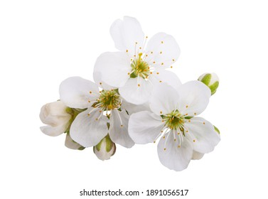 cherry flowers isolated on white background