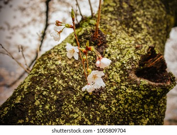 Cherry flowers with an old tree background at garden in Nara, Japan.