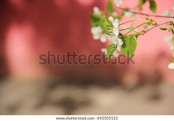 cherry-flowers-on-pink-background-600w-6