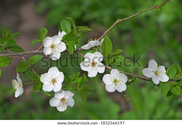 cherry-flowers-spring-on-dark-600w-18325