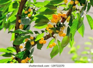 cherry fruits grow on tree