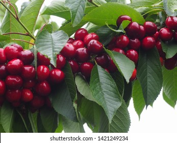 Cherry fruits hanging on trees ready to eat