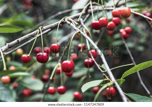 Cherry in a garden red berries on green leaves