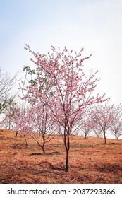 Cherry groves in Parque do Carmo in São Paulo, Brazil