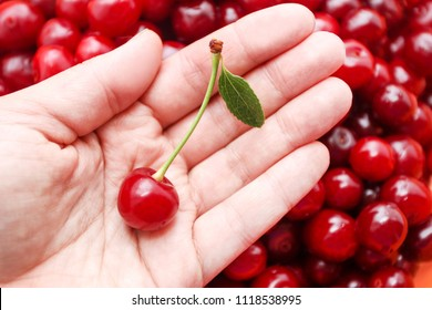 cherry in the hands of a woman against a freshly harvested crop