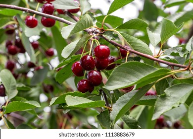 Cherry hanging on a branch of a cherry tree. Ripe cherries among the green leaves of the cherry tree in the summer garden are ripe and waiting for harvesting berries